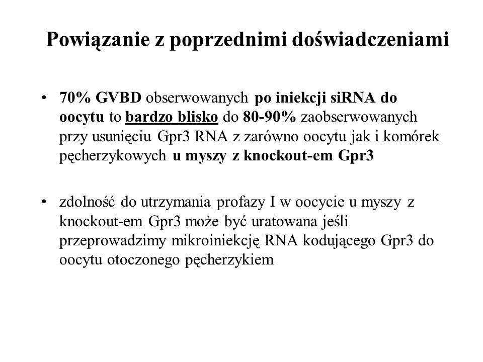 Powiązanie z poprzednimi doświadczeniami 70% GVBD obserwowanych po iniekcji siRNA do oocytu to bardzo blisko do 80-90% zaobserwowanych przy usunięciu
