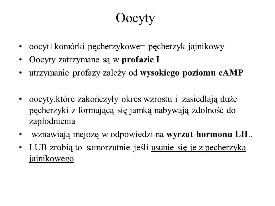 Oocyty oocyt+komórki pęcherzykowe= pęcherzyk jajnikowy Oocyty zatrzymane są w profazie I utrzymanie profazy zależy od wysokiego poziomu cAMP oocyty,kt