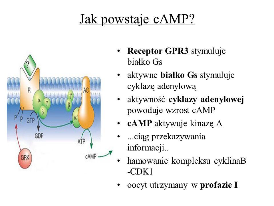 Jak powstaje cAMP? Receptor GPR3 stymuluje białko Gs aktywne białko Gs stymuluje cyklazę adenylową aktywność cyklazy adenylowej powoduje wzrost cAMP c