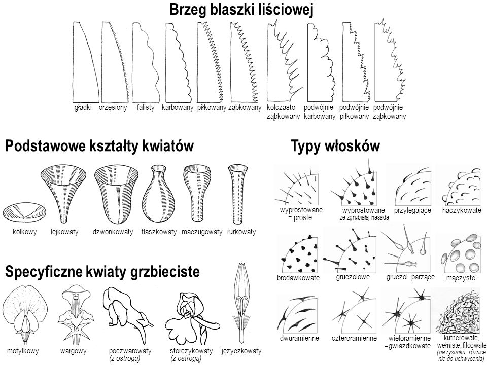 lejkowatydzwonkowaty flaszkowaty maczugowatyrurkowatykółkowy Podstawowe kształty kwiatów Specyficzne kwiaty grzbieciste motylkowy wargowy poczwarowaty