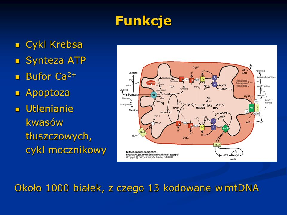 Funkcje Cykl Krebsa Cykl Krebsa Synteza ATP Synteza ATP Bufor Ca 2+ Bufor Ca 2+ Apoptoza Apoptoza Utlenianie kwasów tłuszczowych, cykl mocznikowy Utle