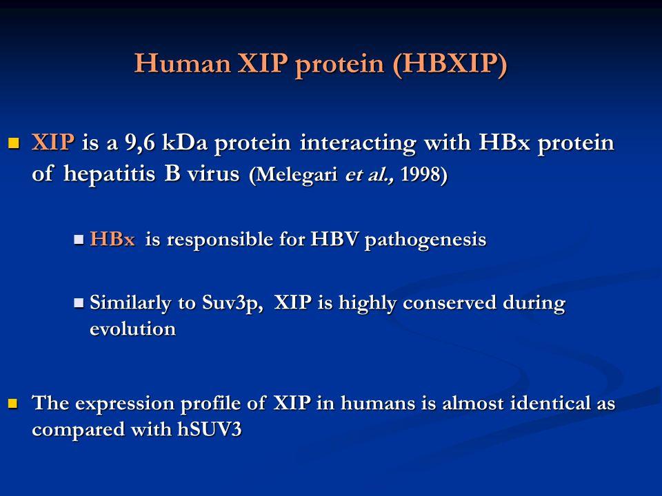 Human XIP protein (HBXIP) XIP is a 9,6 kDa protein interacting with HBx protein of hepatitis B virus (Melegari et al., 1998) XIP is a 9,6 kDa protein