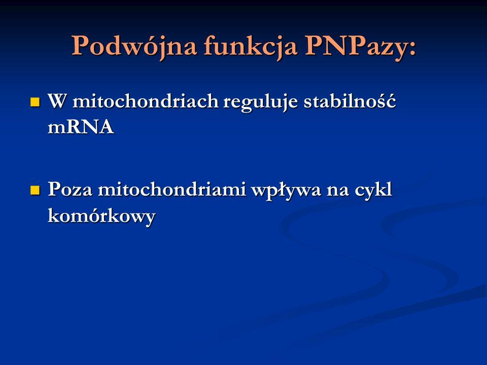 Podwójna funkcja PNPazy: W mitochondriach reguluje stabilność mRNA W mitochondriach reguluje stabilność mRNA Poza mitochondriami wpływa na cykl komórk