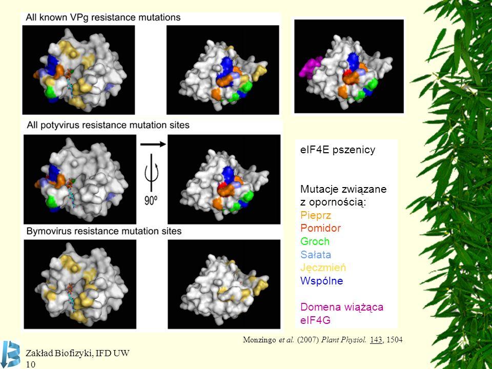 Zakład Biofizyki, IFD UW 10 eIF4E pszenicy Mutacje związane z opornością: Pieprz Pomidor Groch Sałata Jęczmień Wspólne Domena wiążąca eIF4G Monzingo e