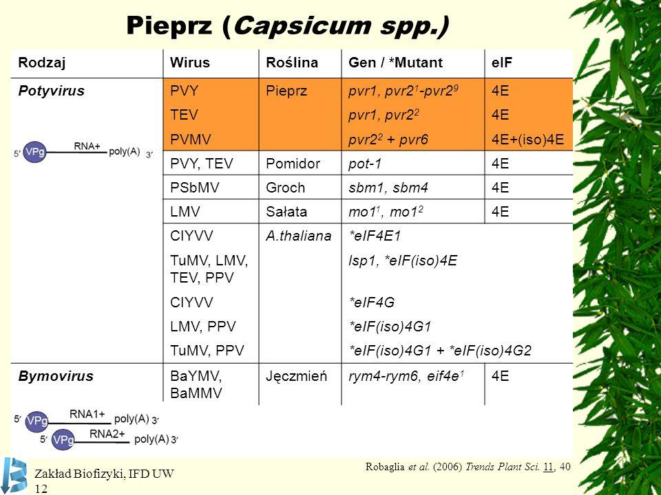 Zakład Biofizyki, IFD UW 12 Pieprz (Capsicum spp.) RodzajWirusRoślinaGen / *MutanteIF PotyvirusPVYPieprzpvr1, pvr2 1 -pvr2 9 4E TEVpvr1, pvr2 2 4E PVM
