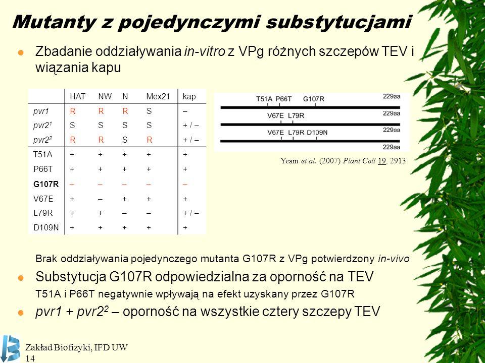 Zakład Biofizyki, IFD UW 14 Mutanty z pojedynczymi substytucjami Zbadanie oddziaływania in-vitro z VPg różnych szczepów TEV i wiązania kapu Brak oddzi