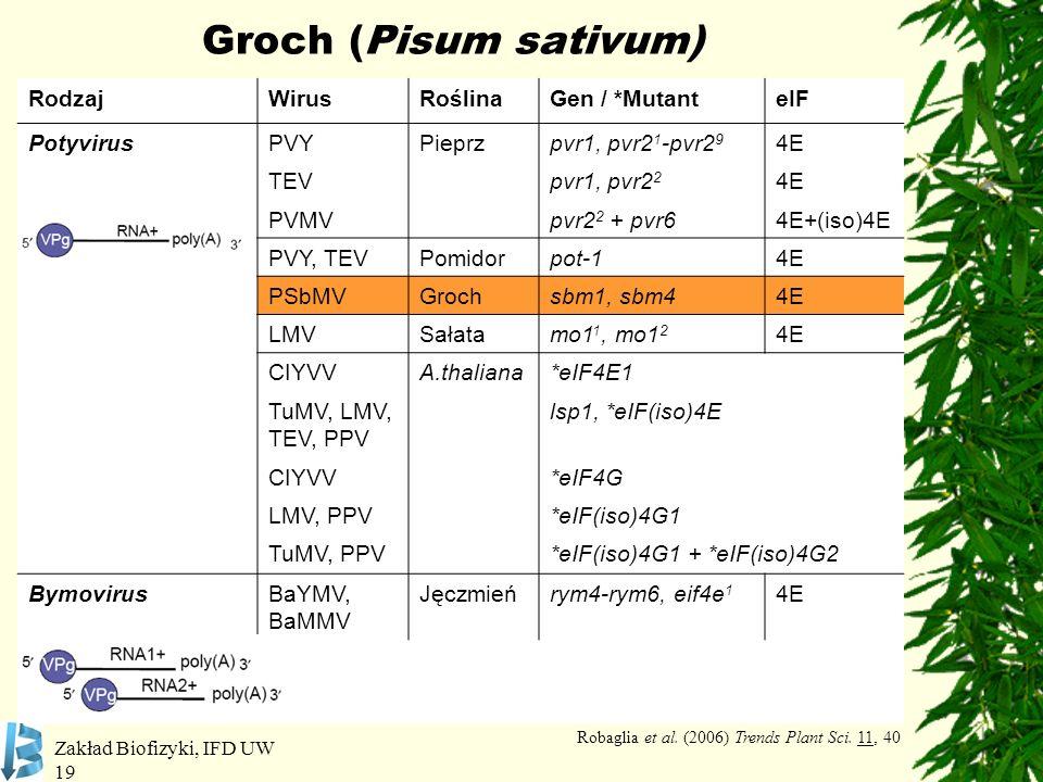 Zakład Biofizyki, IFD UW 19 Groch (Pisum sativum) RodzajWirusRoślinaGen / *MutanteIF PotyvirusPVYPieprzpvr1, pvr2 1 -pvr2 9 4E TEVpvr1, pvr2 2 4E PVMV