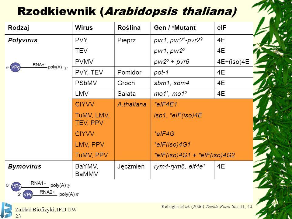 Zakład Biofizyki, IFD UW 23 Rzodkiewnik (Arabidopsis thaliana) RodzajWirusRoślinaGen / *MutanteIF PotyvirusPVYPieprzpvr1, pvr2 1 -pvr2 9 4E TEVpvr1, p