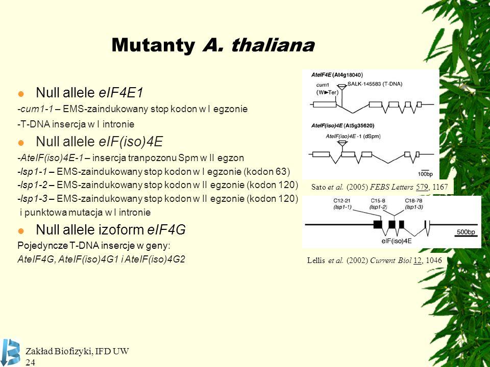 Zakład Biofizyki, IFD UW 24 Mutanty A. thaliana Null allele eIF4E1 -cum1-1 – EMS-zaindukowany stop kodon w I egzonie -T-DNA insercja w I intronie Null