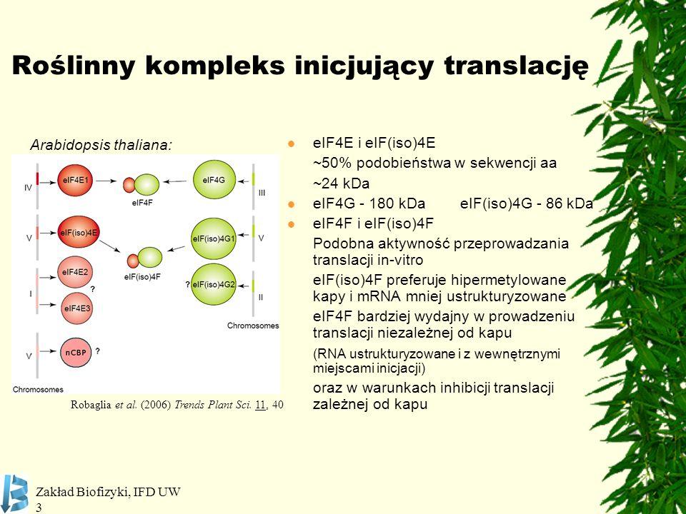 Zakład Biofizyki, IFD UW 3 Roślinny kompleks inicjujący translację eIF4E i eIF(iso)4E ~50% podobieństwa w sekwencji aa ~24 kDa eIF4G - 180 kDa eIF(iso