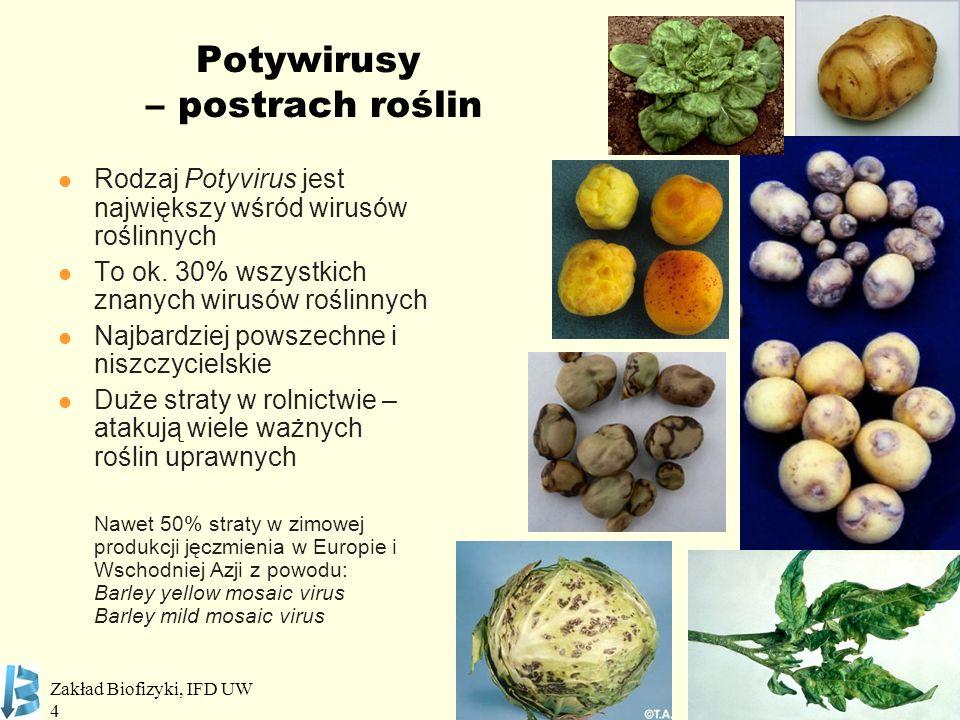 Zakład Biofizyki, IFD UW 4 Potywirusy – postrach roślin Rodzaj Potyvirus jest największy wśród wirusów roślinnych To ok. 30% wszystkich znanych wirusó