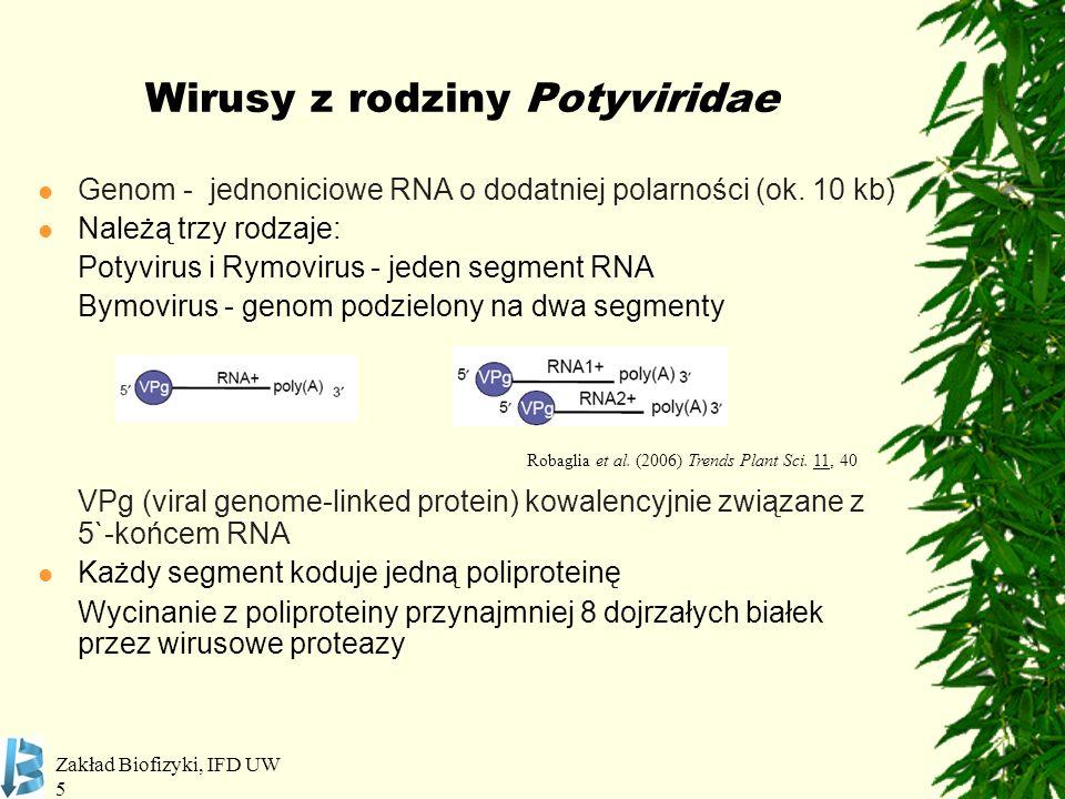 Zakład Biofizyki, IFD UW 5 Wirusy z rodziny Potyviridae Genom - jednoniciowe RNA o dodatniej polarności (ok. 10 kb) Należą trzy rodzaje: Potyvirus i R
