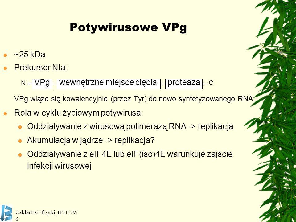 Zakład Biofizyki, IFD UW 17 Pomidor (Lycopersicon spp.) RodzajWirusRoślinaGen / *MutanteIF PotyvirusPVYPieprzpvr1, pvr2 1 -pvr2 9 4E TEVpvr1, pvr2 2 4E PVMVpvr2 2 + pvr64E+(iso)4E PVY, TEVPomidorpot-14E PSbMVGrochsbm1, sbm44E LMVSałatamo1 1, mo1 2 4E CIYVVA.thaliana*eIF4E1 TuMV, LMV, TEV, PPV lsp1, *eIF(iso)4E CIYVV*eIF4G LMV, PPV*eIF(iso)4G1 TuMV, PPV*eIF(iso)4G1 + *eIF(iso)4G2 BymovirusBaYMV, BaMMV Jęczmieńrym4-rym6, eif4e 1 4E Robaglia et al.