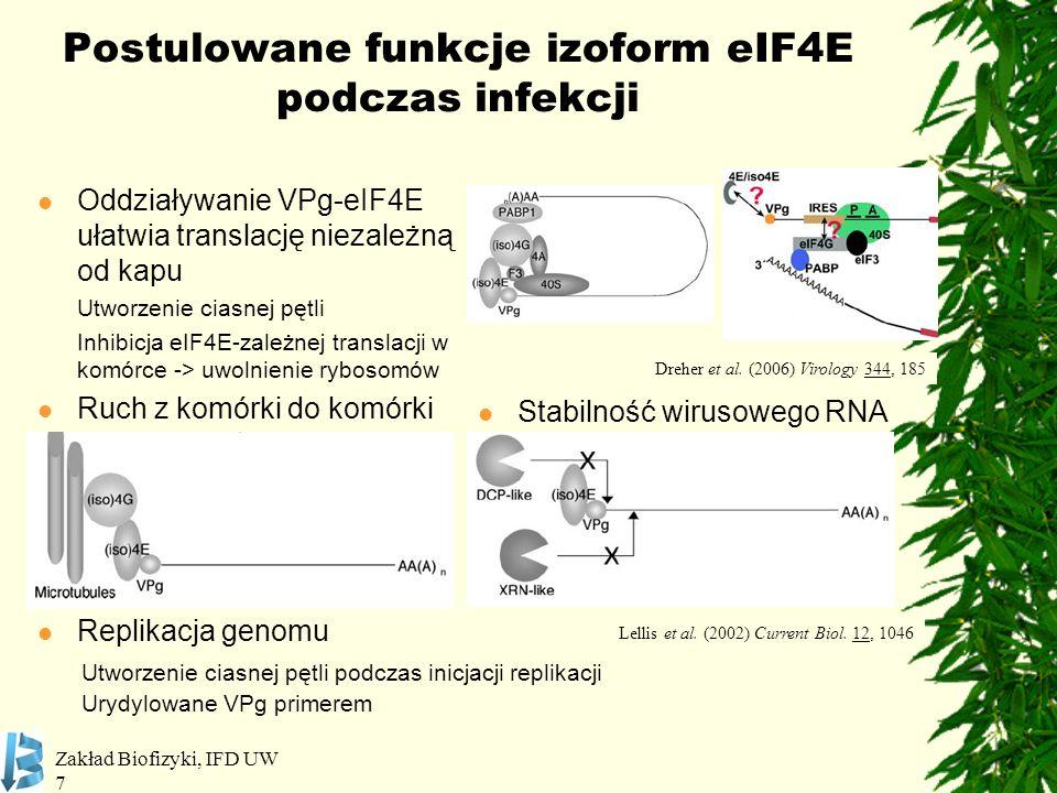 Zakład Biofizyki, IFD UW 7 Postulowane funkcje izoform eIF4E podczas infekcji Oddziaływanie VPg-eIF4E ułatwia translację niezależną od kapu Utworzenie