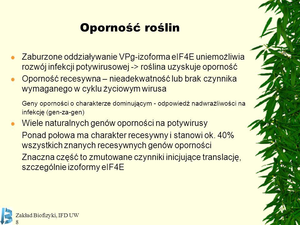 Zakład Biofizyki, IFD UW 9 Recesywne geny oporności na wirusy Potyviridae RodzajWirusRoślinaGen / *MutanteIF PotyvirusPVYPieprzpvr1, pvr2 1 -pvr2 9 4E TEVpvr1, pvr2 2 4E PVMVpvr2 2 + pvr64E+(iso)4E PVY, TEVPomidorpot-14E PSbMVGrochsbm1, sbm44E LMVSałatamo1 1, mo1 2 4E CIYVVA.thaliana*eIF4E1 TuMV, LMV, TEV, PPV lsp1, *eIF(iso)4E CIYVV*eIF4G LMV, PPV*eIF(iso)4G1 TuMV, PPV*eIF(iso)4G1 + *eIF(iso)4G2 BymovirusBaYMV, BaMMV Jęczmieńrym4-rym6, eif4e 1 4E Robaglia et al.
