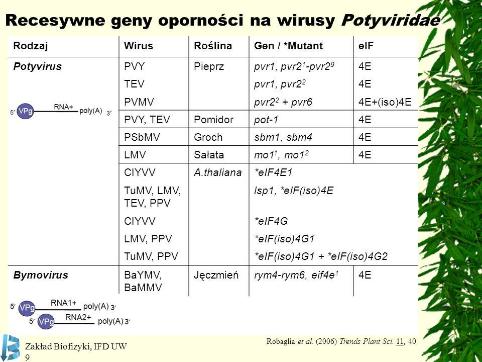 Zakład Biofizyki, IFD UW 9 Recesywne geny oporności na wirusy Potyviridae RodzajWirusRoślinaGen / *MutanteIF PotyvirusPVYPieprzpvr1, pvr2 1 -pvr2 9 4E