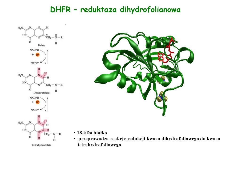 DHFR – reduktaza dihydrofolianowa 18 kDa białko przeprowadza reakcje redukcji kwasu dihydrofoliowego do kwasu tetrahydrofoliowego