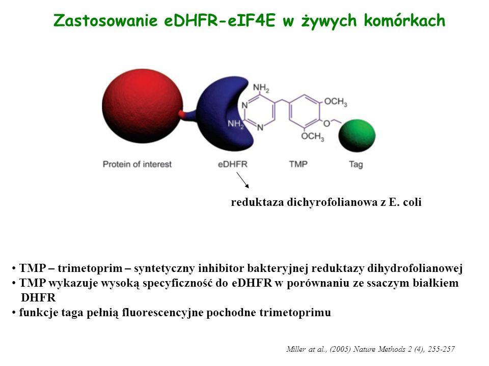 Zastosowanie eDHFR-eIF4E w żywych komórkach TMP – trimetoprim – syntetyczny inhibitor bakteryjnej reduktazy dihydrofolianowej TMP wykazuje wysoką spec