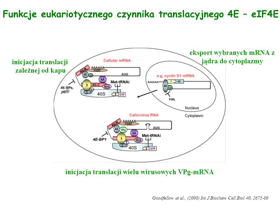 Funkcje eukariotycznego czynnika translacyjnego 4E – eIF4E inicjacja translacji zależnej od kapu eksport wybranych mRNA z jądra do cytoplazmy inicjacj