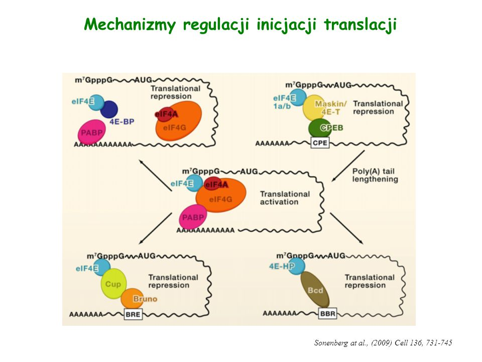 Mechanizmy regulacji inicjacji translacji Sonenberg at al., (2009) Cell 136, 731-745
