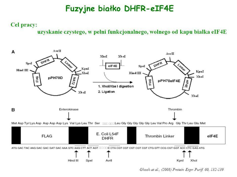 Fuzyjne białko DHFR-eIF4E Ghosh at al., (2008) Protein Expr. Purif. 60, 132-139 Cel pracy: uzyskanie czystego, w pełni funkcjonalnego, wolnego od kapu