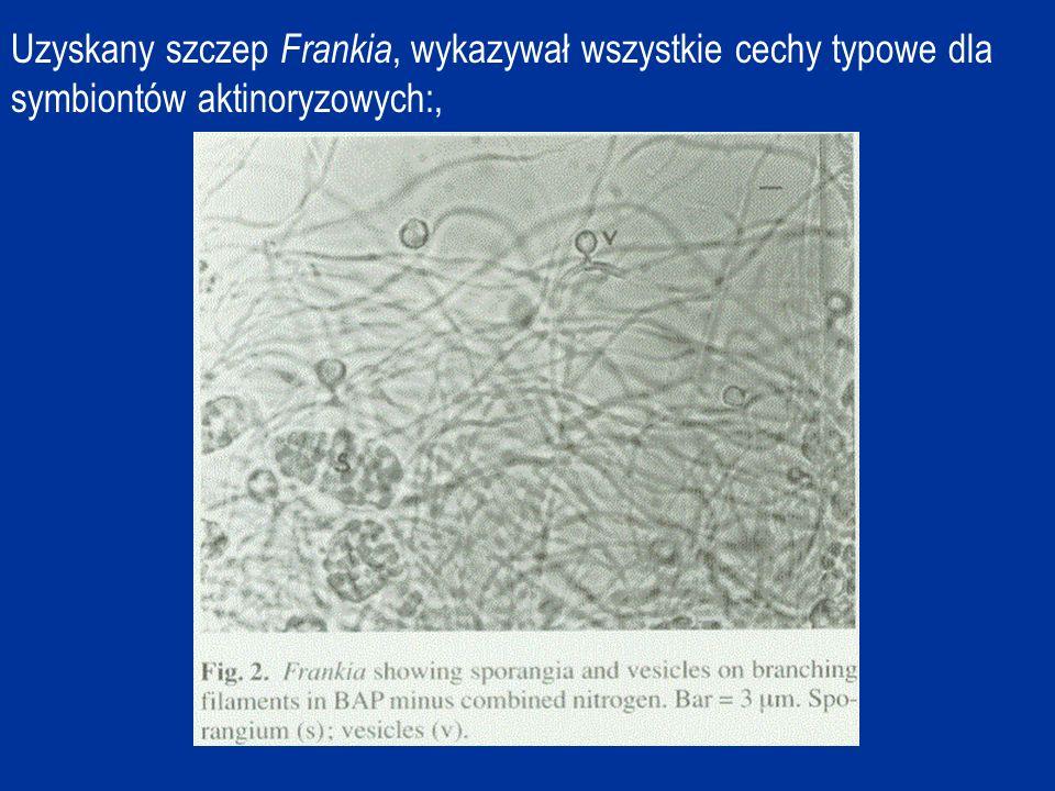 Uzyskany szczep Frankia, wykazywał wszystkie cechy typowe dla symbiontów aktinoryzowych:,