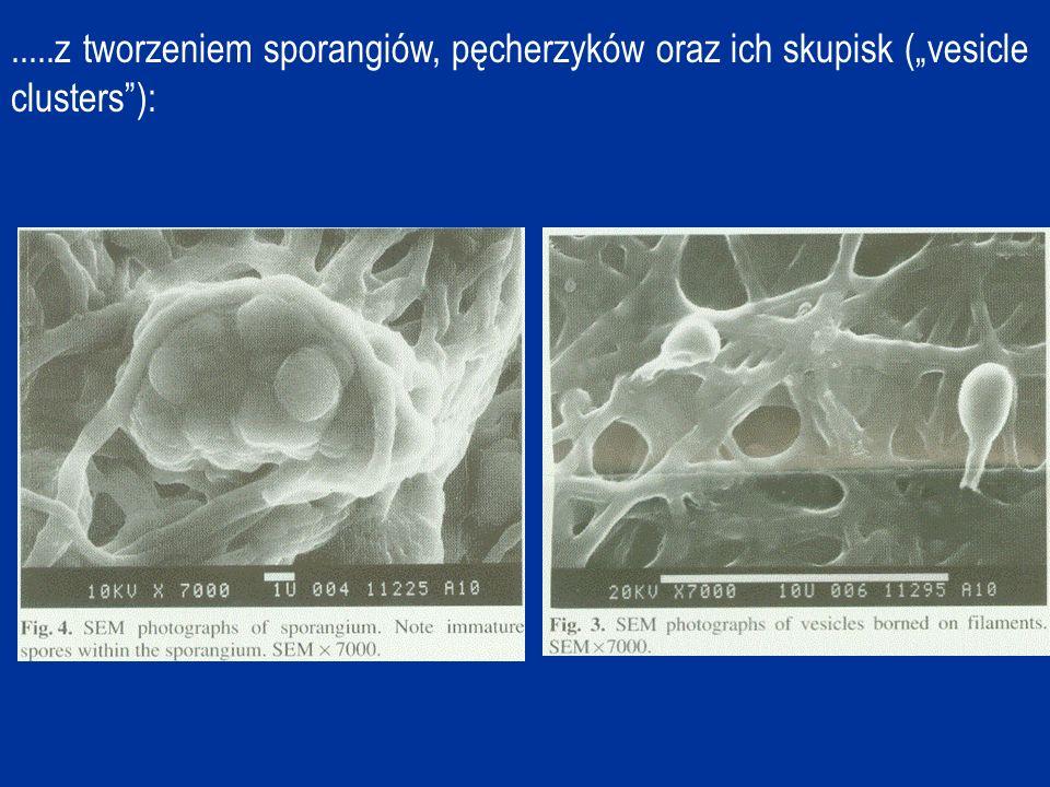.....z tworzeniem sporangiów, pęcherzyków oraz ich skupisk (vesicle clusters):