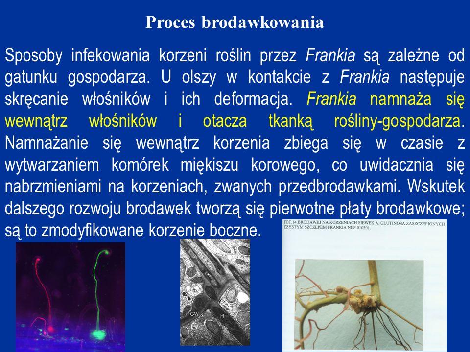 Proces brodawkowania Sposoby infekowania korzeni roślin przez Frankia są zależne od gatunku gospodarza.