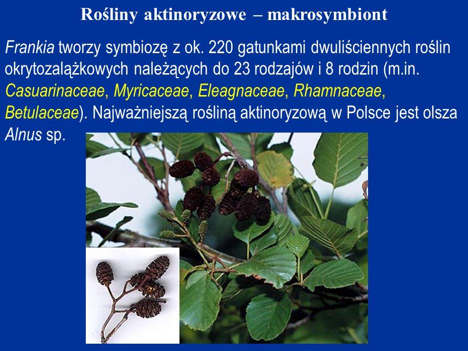 Główne źródło ilustracji i innych informacji: Benson D.R., 2008: Frankia & Actinorhizal Plants.