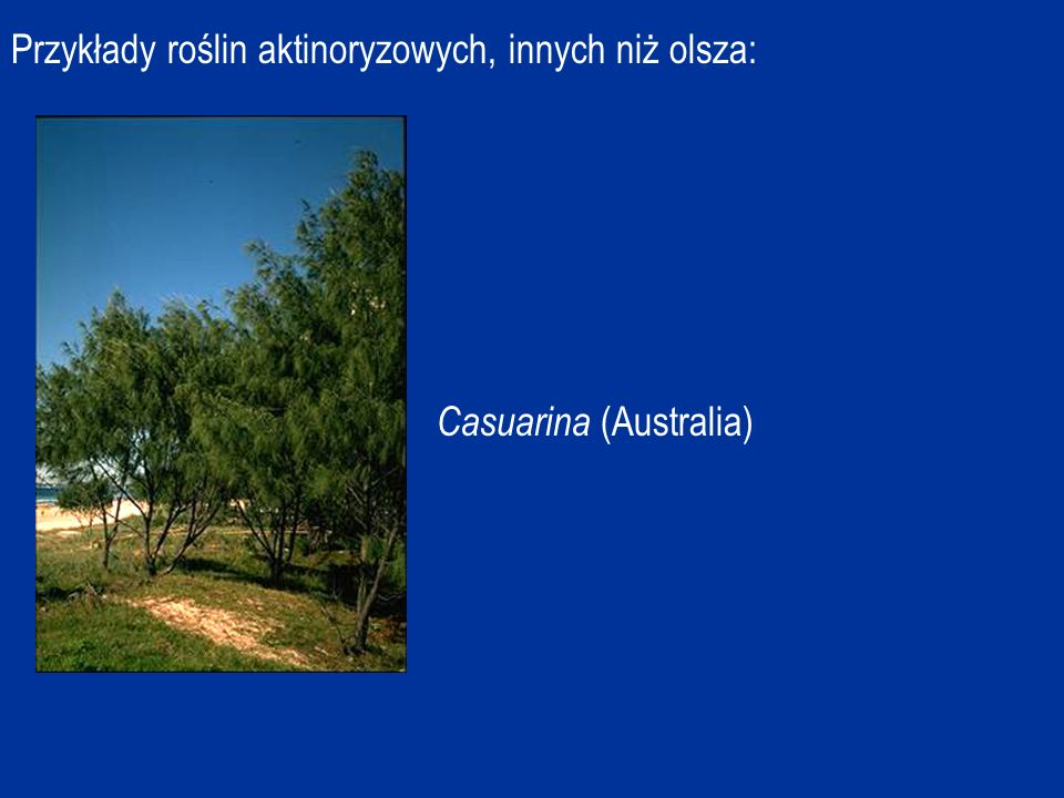 Przykłady roślin aktinoryzowych, innych niż olsza: Casuarina (Australia)