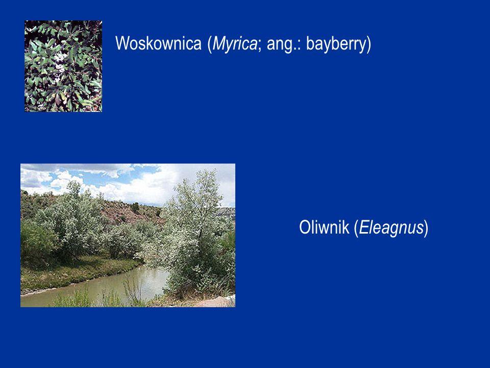 Przykłady brodawek różnych gatunków olszy:
