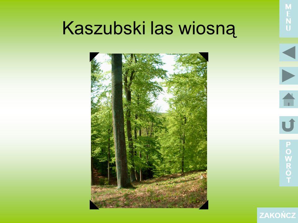 Kaszubski las wiosną POWRÓTPOWRÓT ZAKOŃCZ MENUMENU