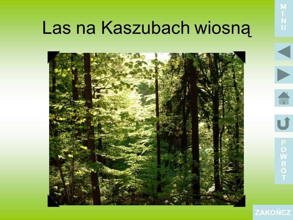 Las na Kaszubach wiosną POWRÓTPOWRÓT ZAKOŃCZ MENUMENU