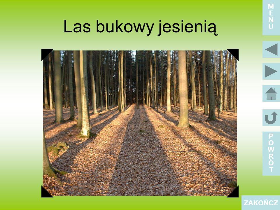 Las bukowy jesienią POWRÓTPOWRÓT ZAKOŃCZ MENUMENU