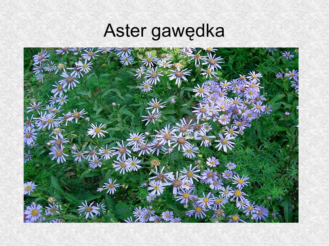Aster gawędka
