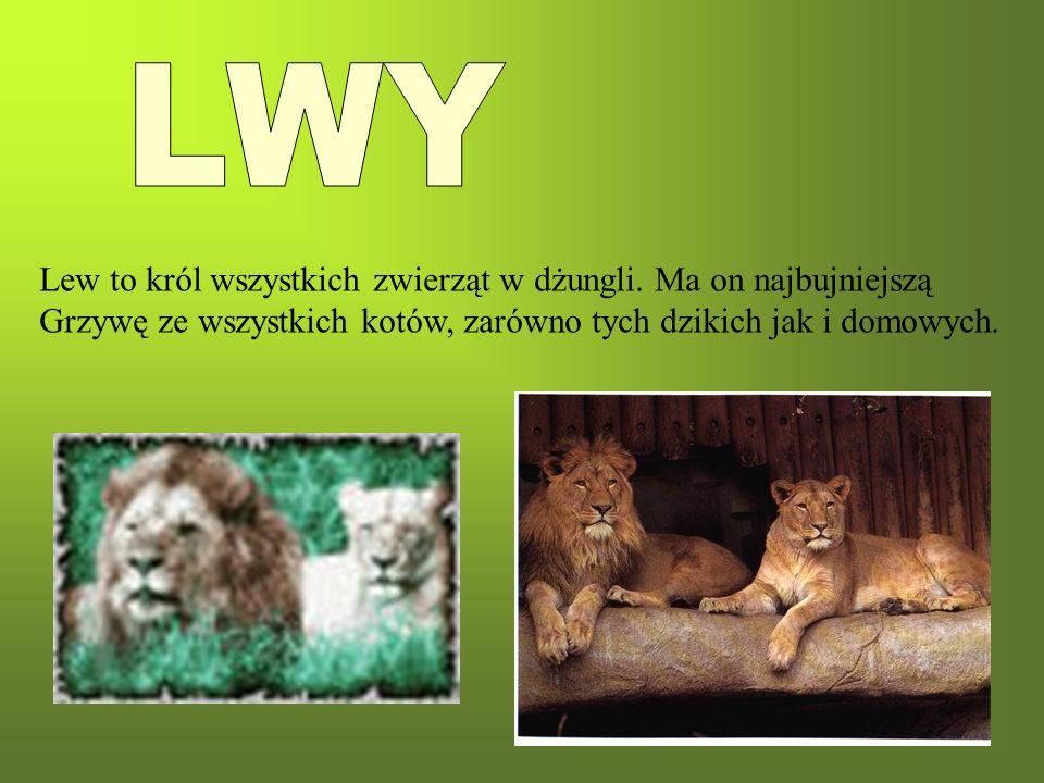 Lew to król wszystkich zwierząt w dżungli. Ma on najbujniejszą Grzywę ze wszystkich kotów, zarówno tych dzikich jak i domowych.