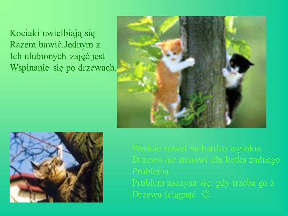 Kociaki uwielbiają się Razem bawić.Jednym z Ich ulubionych zajęć jest Wspinanie się po drzewach. Wejście nawet na bardzo wysokie Drzewo nie stanowi dl