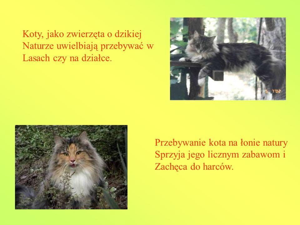 Koty, jako zwierzęta o dzikiej Naturze uwielbiają przebywać w Lasach czy na działce.