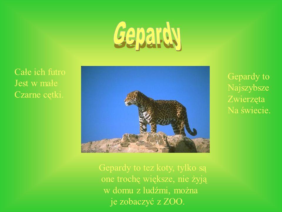 Gepardy to tez koty, tylko są one trochę większe, nie żyją w domu z ludźmi, można je zobaczyć z ZOO. Gepardy to Najszybsze Zwierzęta Na świecie. Całe