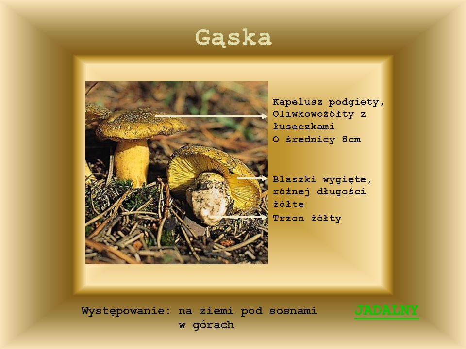 Borowik JADALNY Kapelusz wypukły czerwonawobrazowy lub jasnobrunatny, czasem pomarszczony O średnicy 5-25cm Długie, białe do żółtolilowatych rurki Trz