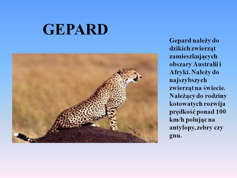 GEPARD Gepard należy do dzikich zwierząt zamieszkujących obszary Australii i Afryki.