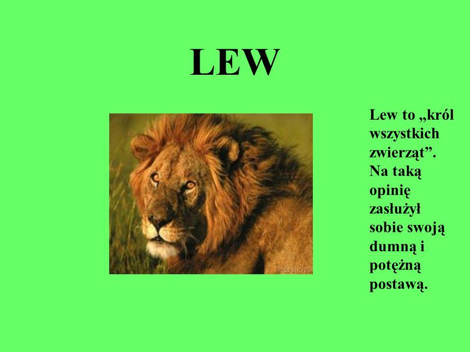LEW Lew to król wszystkich zwierząt. Na taką opinię zasłużył sobie swoją dumną i potężną postawą.