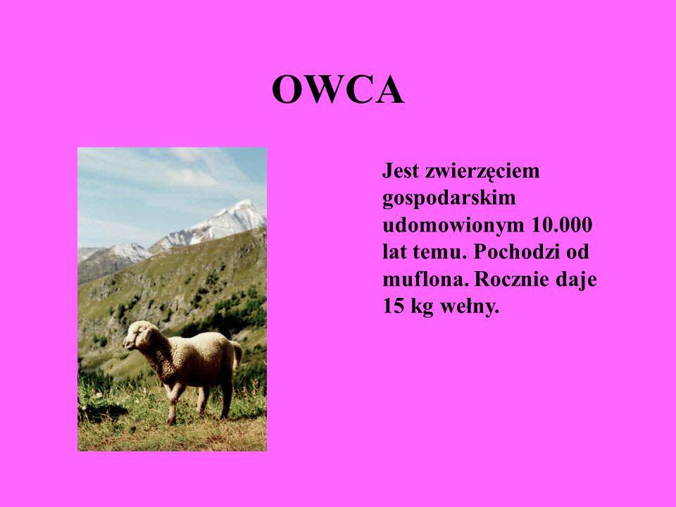 OWCA Jest zwierzęciem gospodarskim udomowionym 10.000 lat temu.