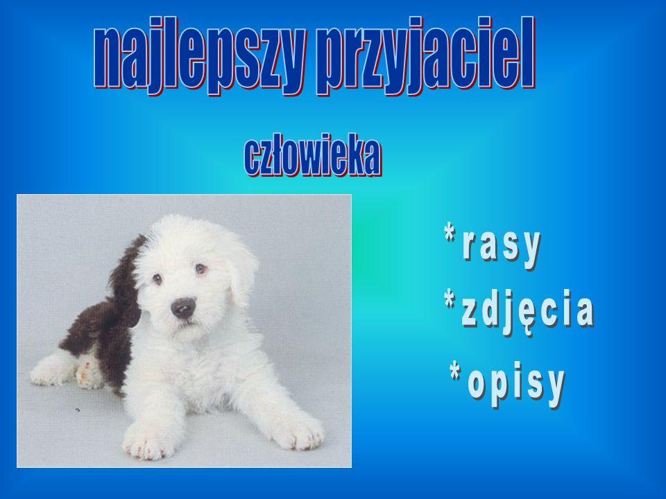 DALMATYŃCZYK ma śnieżnobiałą sierść w czarne lub brązowe łaty.W średniowieczu używany był jako pies myśliwski, obecnie tylko jako pies domowy.