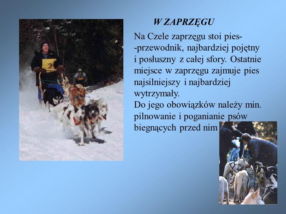 W ZAPRZĘGU Na Czele zaprzęgu stoi pies- -przewodnik, najbardziej pojętny i posłuszny z całej sfory. Ostatnie miejsce w zaprzęgu zajmuje pies najsilnie