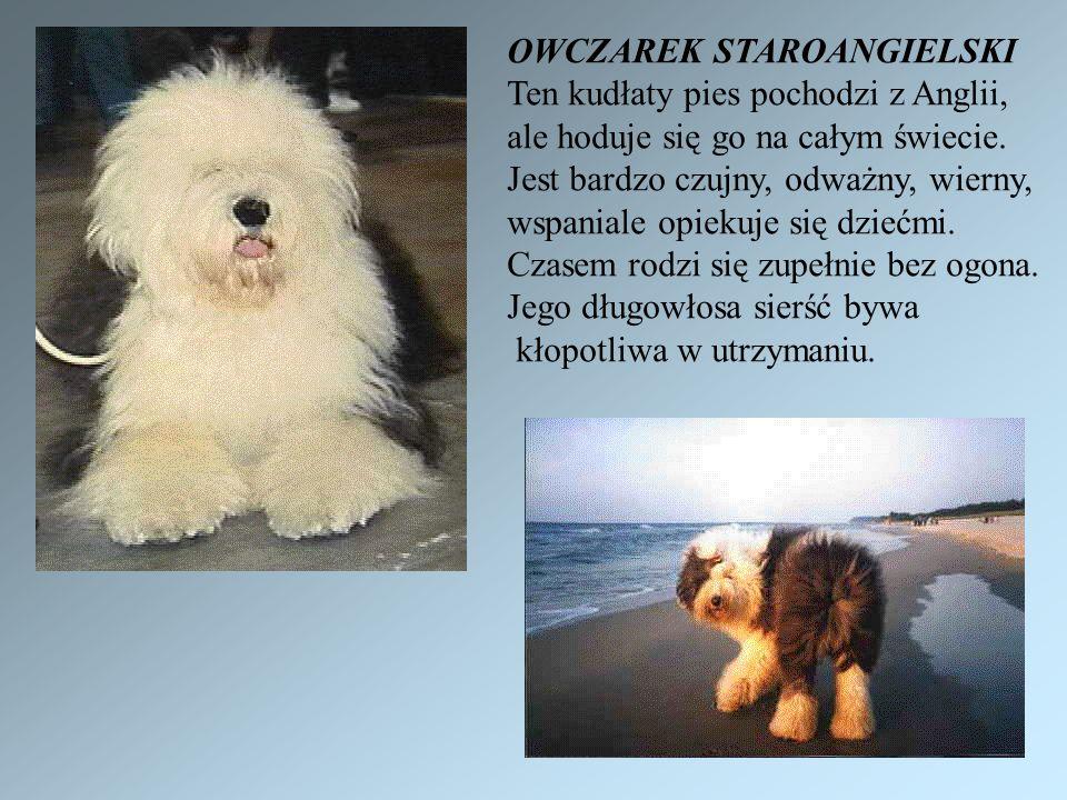 OWCZAREK STAROANGIELSKI Ten kudłaty pies pochodzi z Anglii, ale hoduje się go na całym świecie.