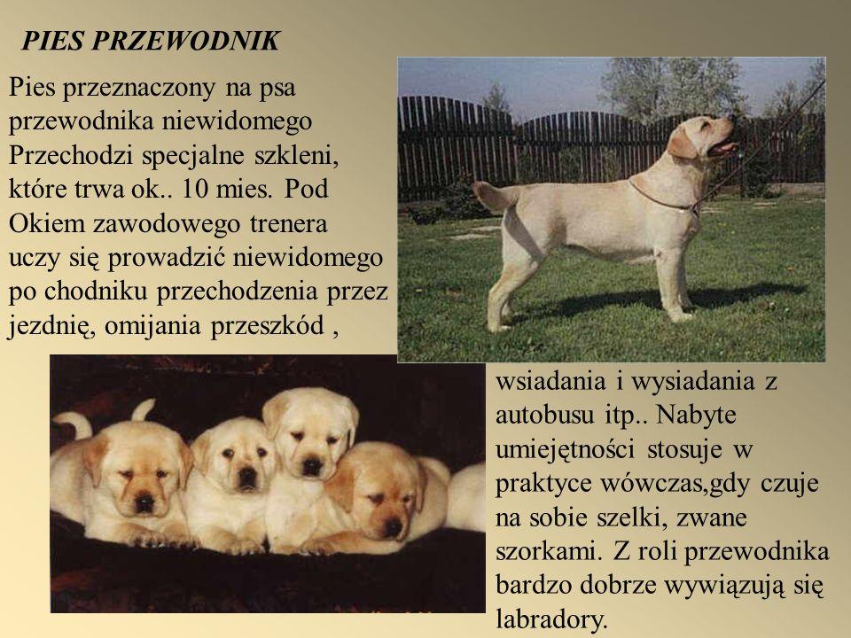 PIES PRZEWODNIK Pies przeznaczony na psa przewodnika niewidomego Przechodzi specjalne szkleni, które trwa ok.. 10 mies. Pod Okiem zawodowego trenera u