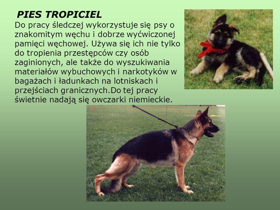 PIES TROPICIEL Do pracy śledczej wykorzystuje się psy o znakomitym węchu i dobrze wyćwiczonej pamięci węchowej.