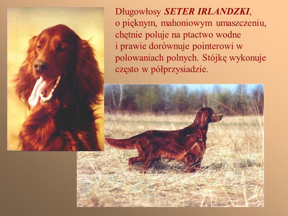 BULLTERIER ma opinię psa bardzo niebezpiecznego.Jest niezwykle ostry, bojowy i nie- ustępliwy.