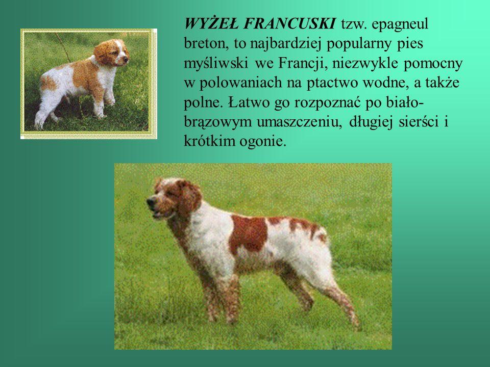WYŻEŁ FRANCUSKI tzw. epagneul breton, to najbardziej popularny pies myśliwski we Francji, niezwykle pomocny w polowaniach na ptactwo wodne, a także po